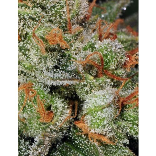 Automatic Bubble Gum Female Cannabis Seeds by T.H.Seeds