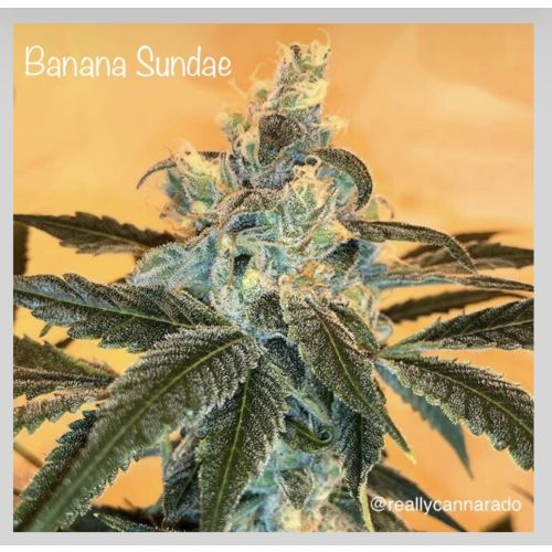 Banana Sundae Female Cannabis Seeds by Cannarado Genetics