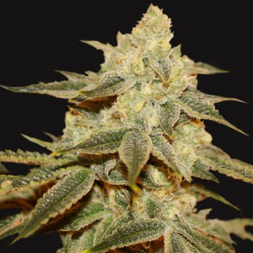 Birthday Cake x Strawbanana Cream Regular Cannabis Seeds Limited Drop by T.H.Seeds
