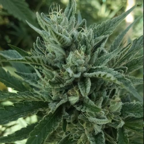 Black Hog Regular Cannabis Seeds by Plantinum Seeds - Terp Hogz