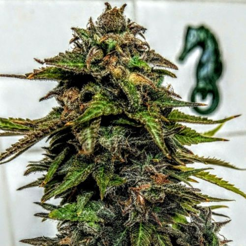 Blue Strawberries Female Cannabis Seeds by Holy Smoke Seeds