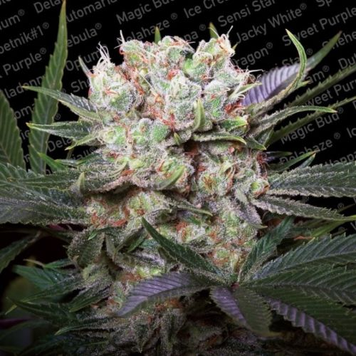 Californian Gold Female Cannabis Seeds by Paradise Seeds