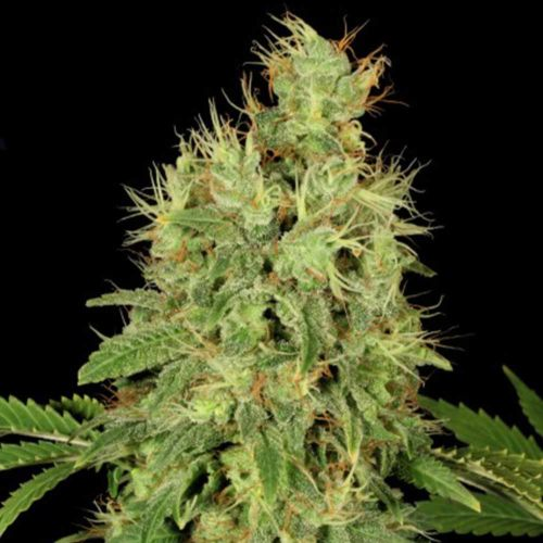 CBD Chronic Female Cannabis Seeds by Serious Seeds