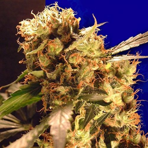 Orange Bud Female Cannabis Seeds Fully Feminized Seeds