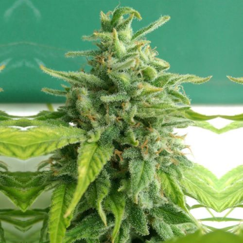 Chem Toffees Regular Cannabis Seeds by Holy Smoke Seeds