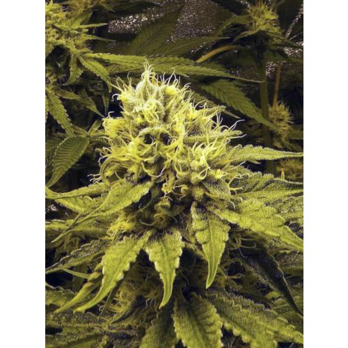 Chocolope Female Cannabis Seeds