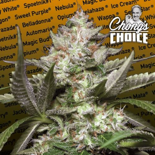 Auto Kong 4® Auto Flowering Cannabis Seeds by Chong's Choice