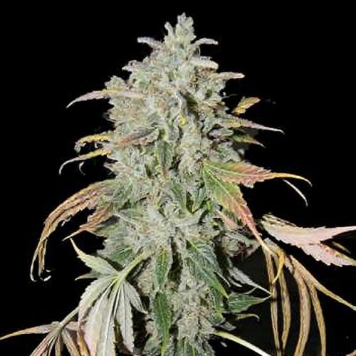 Secret Recipe Regular Cannabis Seeds by Connoisseur Genetics