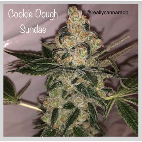 Cookie Dough Sundae Female Cannabis Seeds by Cannarado Genetics