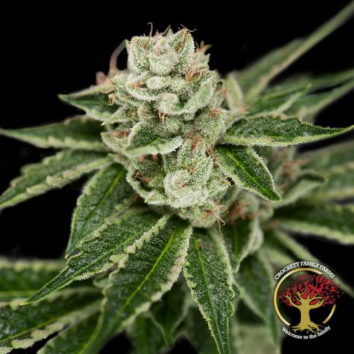 Crockett's Dawg Regular Cannabis Seeds by Crockett Family Farms