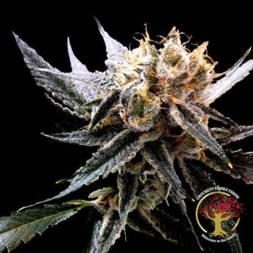 Crockett's Sour Tangie Regular Cannabis Seeds by Crockett Family Farms