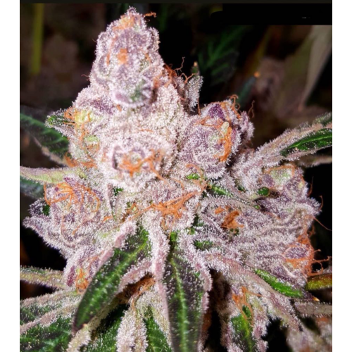 Purple Sunset Female Cannabis Seeds from Dank Genetics