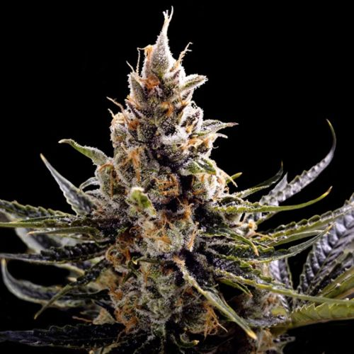 24K Gold Female Cannabis Seeds by DNA Genetics
