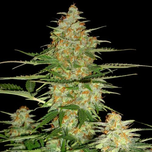 60 Day Wonder - Auto Flowering Cannabis Seeds by DNA Genetics