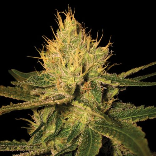 Cannalope Haze Female Cannabis Seeds by DNA Genetics