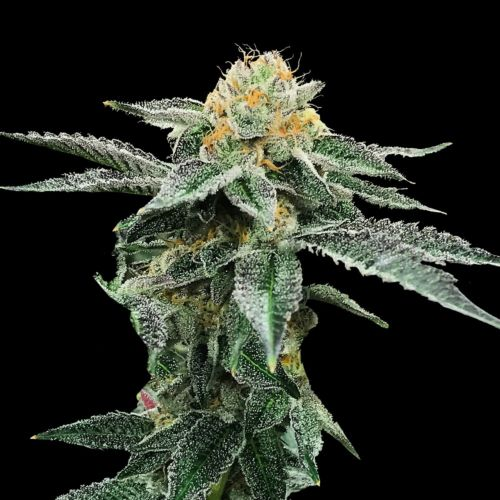 Kosher Cookies Cannabis Seeds By DNA Genetics