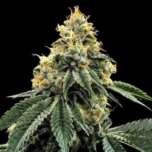 Kosher Dawg Female Cannabis Seeds by DNA Genetics