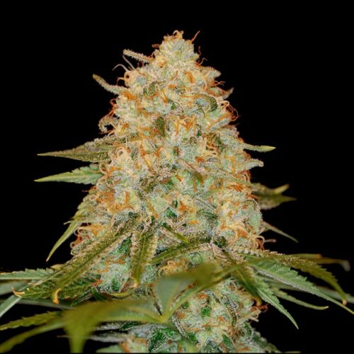 LA Chocolat Female Cannabis Seeds by DNA Genetics