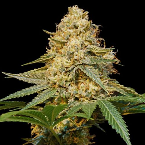 Silver-la Feminized Cannabis Seeds by DNA Genetics -  Discontinued