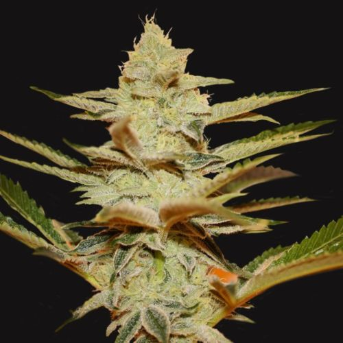 Dosidos x Strawberry Cream Regular Cannabis Seeds Limited Drop by T.H.Seeds