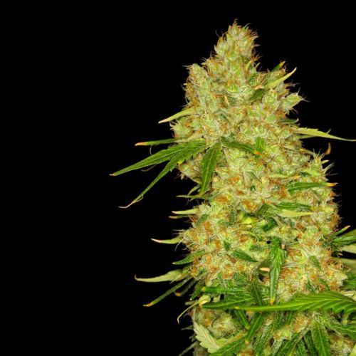 Blue BubbleBerry Female Cannabis Seeds by Dready Seeds