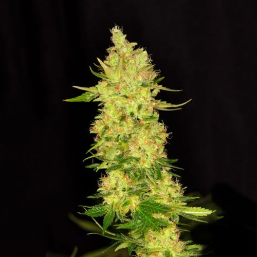 NorthernCheese Female Cannabis Seeds by Dready Seeds