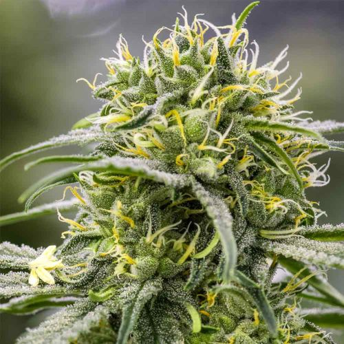 Durban-Thai x C99 Female Cannabis Seeds by Brothers Grimm Seeds