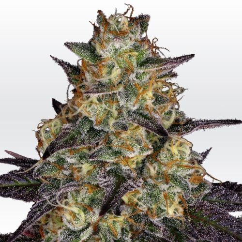 El Dorado OG Female Cannabis Seeds by Paradise Seeds