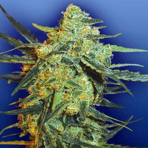 Blueberry Skunk Female Cannabis Seeds