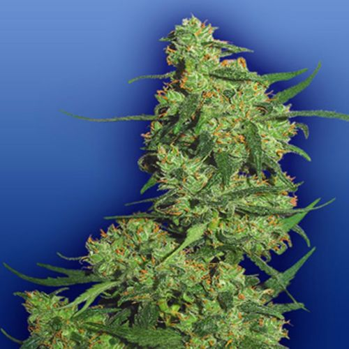 Nepal Kush Female Weed Seeds