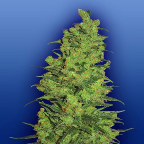 Temple Haze Female Pot Seeds