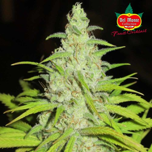 Fruit Cocktail Female Cannabis Seeds by Ultra Genetics