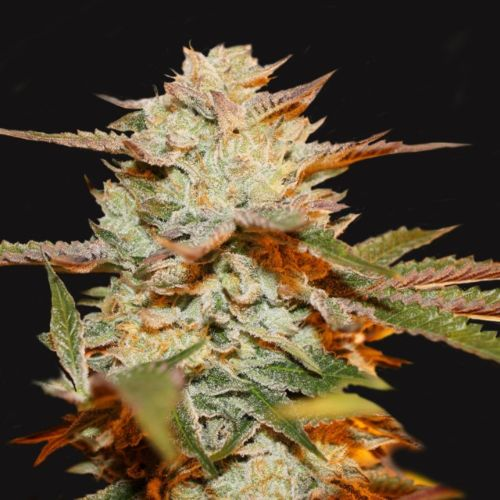 Gelato 33 x Strawbanana Cream Regular Cannabis Seeds Limited Drop by T.H.Seeds