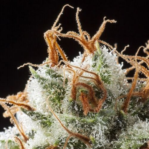 Grizzly Kush Regular Cannabis Seeds by Elemental Seeds