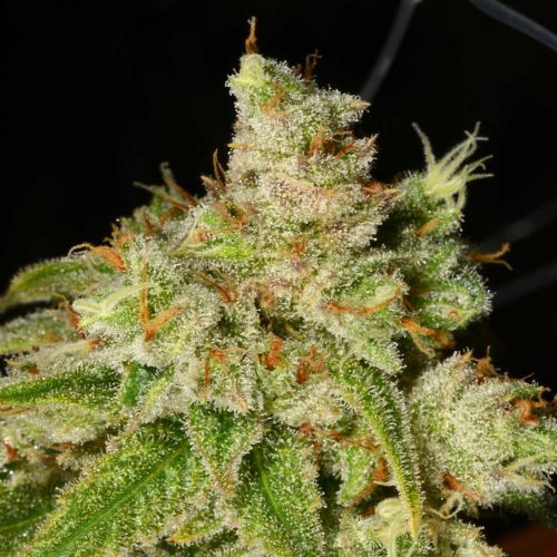 Holy Roller Regular Cannabis Seeds by Archive Seedbank