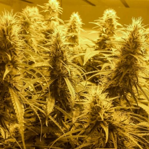 Guava Ghost Train Regular Cannabis Seeds by Holy Smoke Seeds