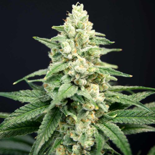 Lavender Barb Female Cannabis Seeds by House of the Great Gardener