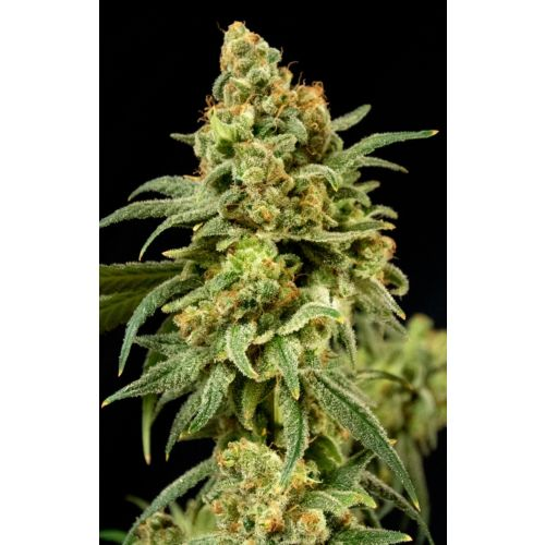 Peaches 'N' Cheese Female Cannabis Seeds by House of the Great Gardener