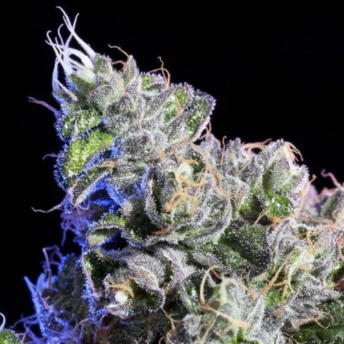 Huckleberry Regular Cannabis Seeds by Elemental Seeds