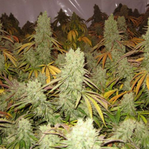 Ice Cream Female Cannabis Seeds by Paradise Seeds