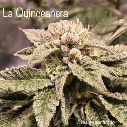 La Quinceanera Female Cannabis Seeds by Cannarado Genetics