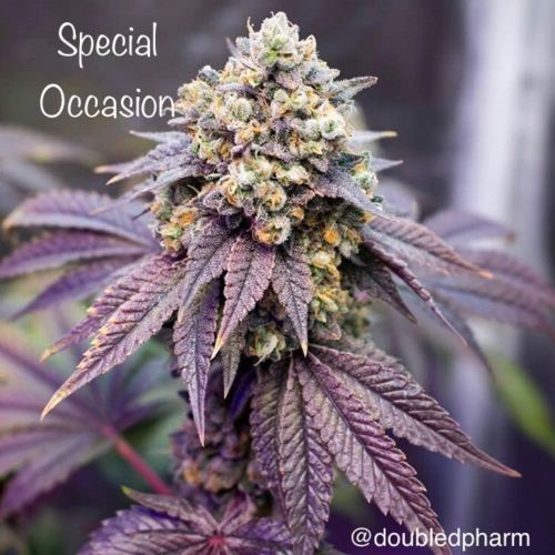 Special Occasion Female Cannabis Seeds by Cannarado Genetics