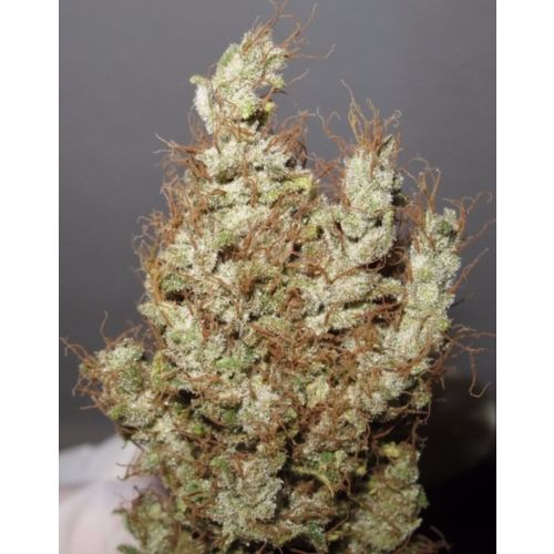 Super Silver Martian Haze Regular Cannabis Seeds by Ultra Genetics