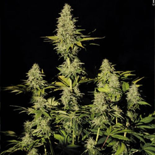 Jacky White Female Cannabis Seeds by Paradise Seeds