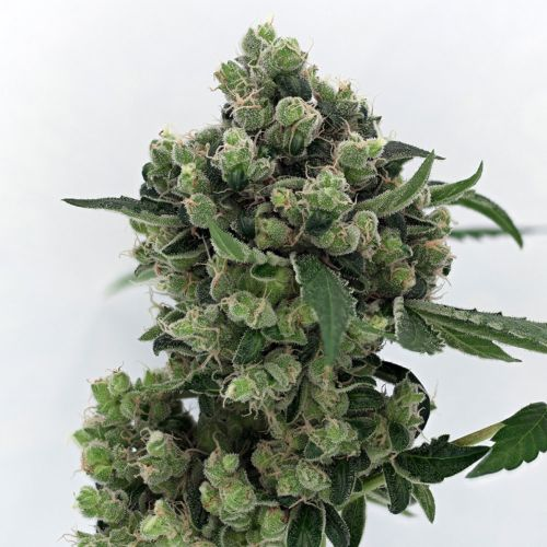 Sour Diesel BX 2 Regular Cannabis Seeds by Karma Genetics