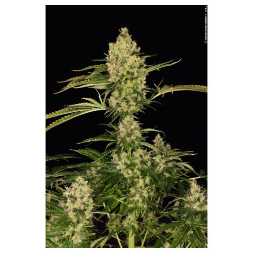 Kushage Female Cannabis Seeds by T.H.Seeds
