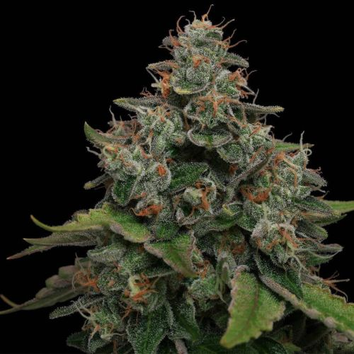Lemon Tini Regular Cannabis Seeds by Karma Genetics