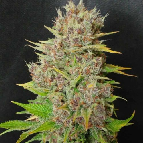 Mendo grape Widow Feminized Cannabis Seeds by Ultra Genetics