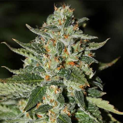 Midas Regular Cannabis Seeds by Rare Dankness