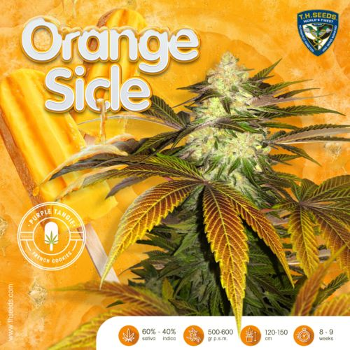 Orangesicle Female Cannabis Seed By T.H.Seeds